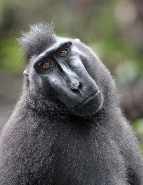 celebes macaque 62384475jpg